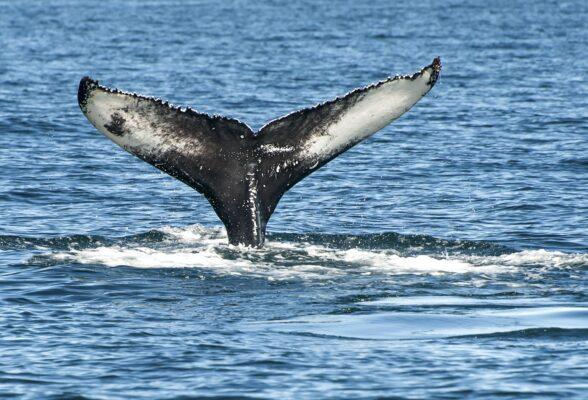 Baleine à Reykjavik