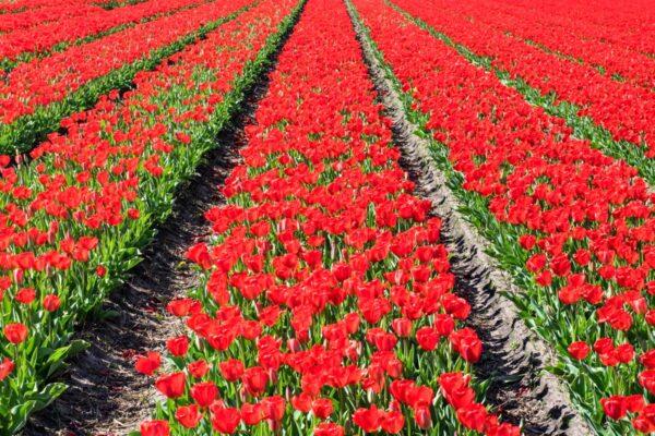 Champ de tulipe en Hollande