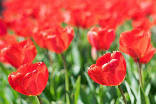 Tulipes Pays-Bas