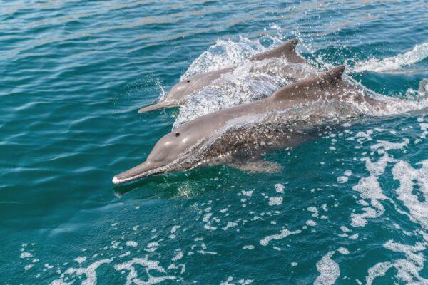 Dauphins dans les fjords d'Oman