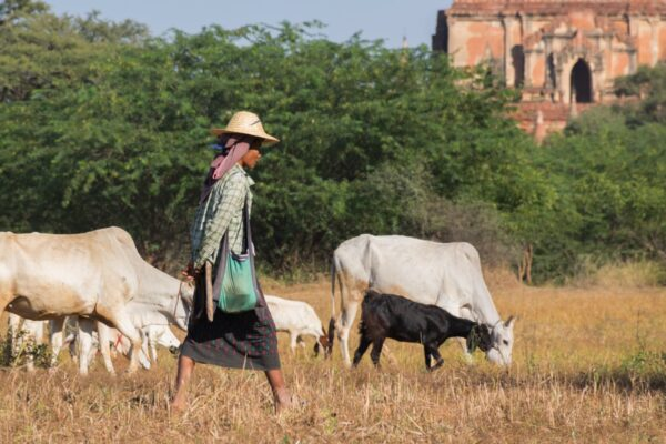 Berger à Bagan