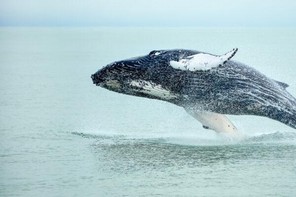 Baleine en Islande