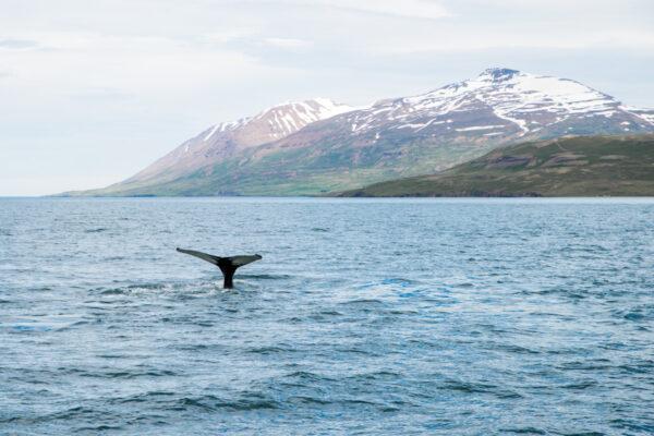 Baleine dans le nord de l'Islande à Akureyri