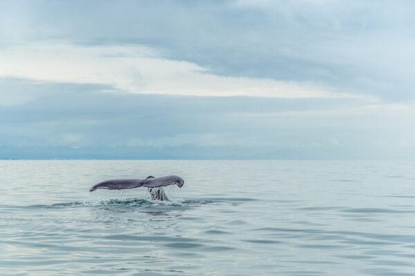 Baleines en Islande : où les voir