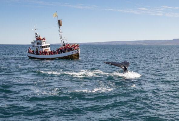 Excursion baleine à Reykjavik
