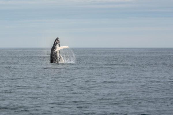 Période pour observer les baleines en Islande