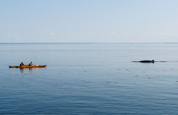 Baleine au Québec sur le Saint-Laurent