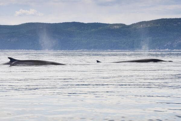 Baleine dans le Saint-Laurent au Québec