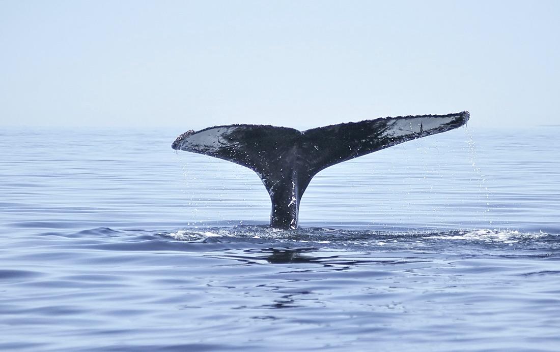 Baleine à Tadoussac