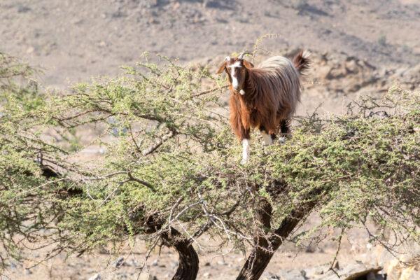 Chèvre sur la route du jebel Shams