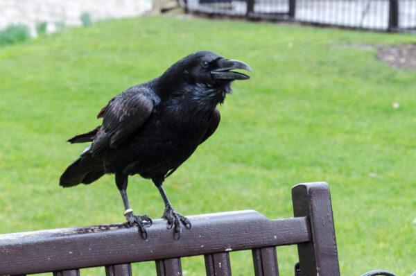 Corbeau dans la Tour de Londres