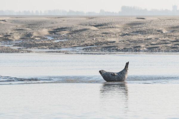 Voir des phoques sur la côte d'Opale