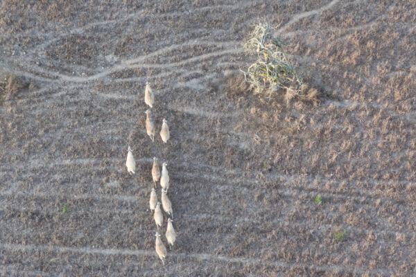 Troupeau de mouton à Majorque depuis une montgolfière