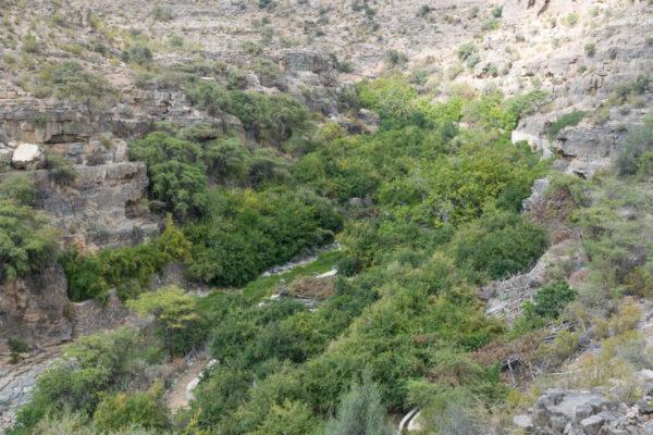 Arbre dans le wadi proche du village Wadi Bani Habib