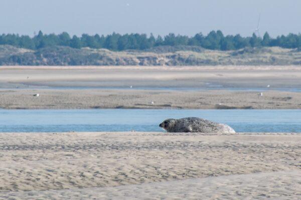 Phoque dans la baie de Somme