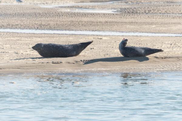 Voir des phoques en baie de Somme