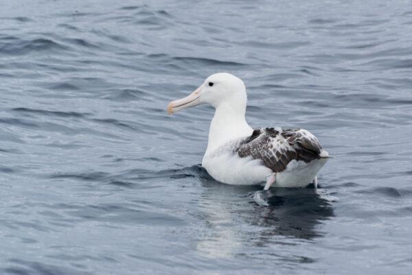 Albatros en Nouvelle-Zélande