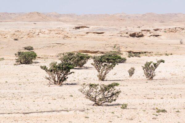 Arbre à encens - Oman