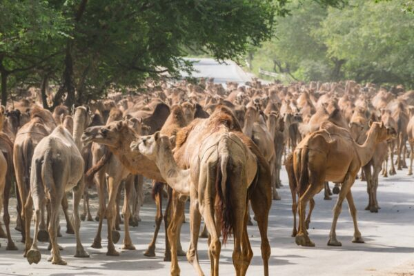 Dromadaires dans le Dhofar