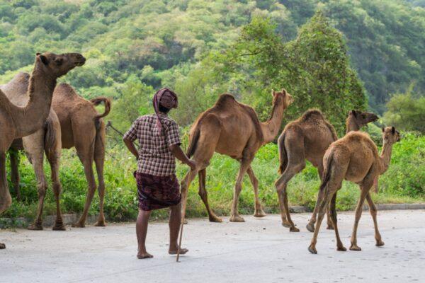 Jibali avec ses dromadaires dans le Dhofar