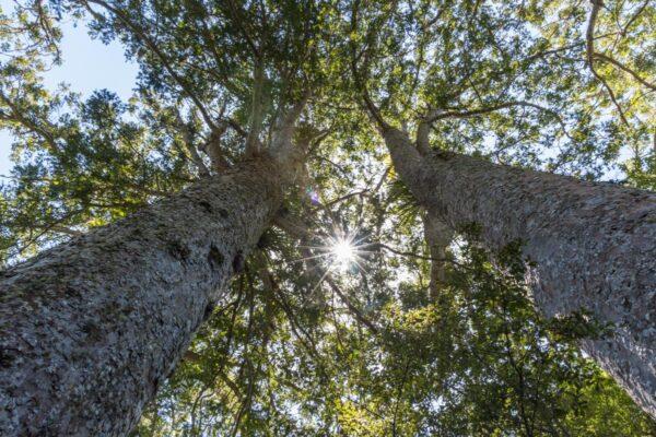 Kauri, arbre de Nouvelle-Zélande