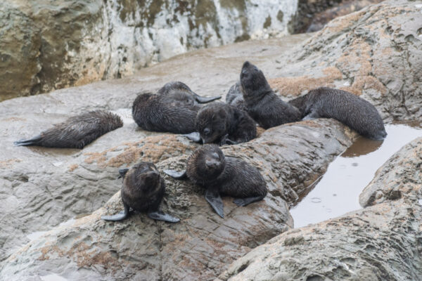 Phoques sur l'île du sud en NZ