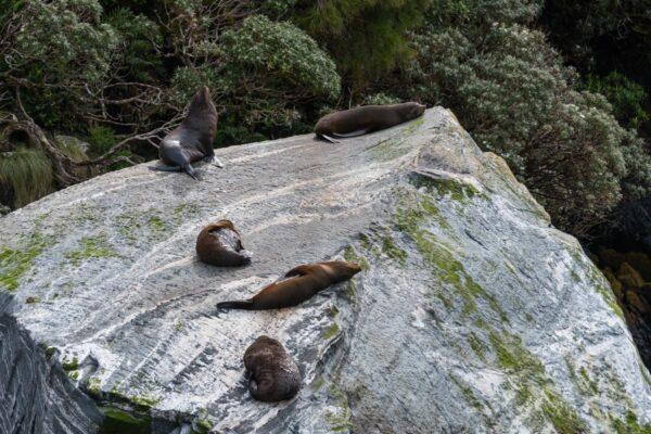 Phoques dans le fjord de Milford Sound