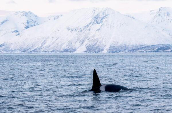 Voir des orques à Tromso