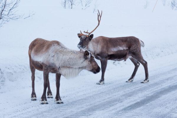 Voir des rennes à Tromso en Norvège