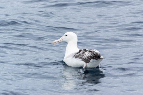 Albatros à Kaikoura lors d'une sortie baleine