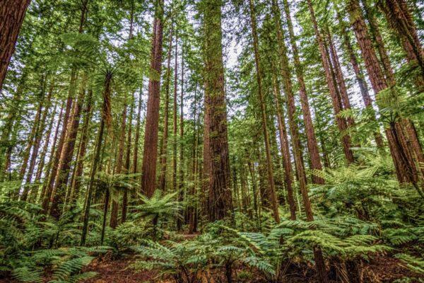 A faire à Rotorua : forêt de séquoias