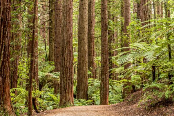 Que faire à Rotorua : Redwood Forest