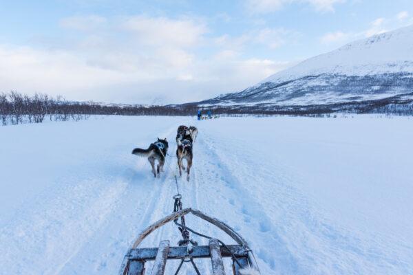 Activité chien de traineau en Norvège