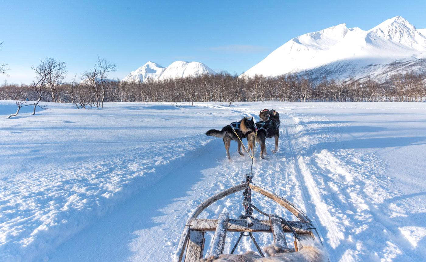 Chien de traineau à Tromso