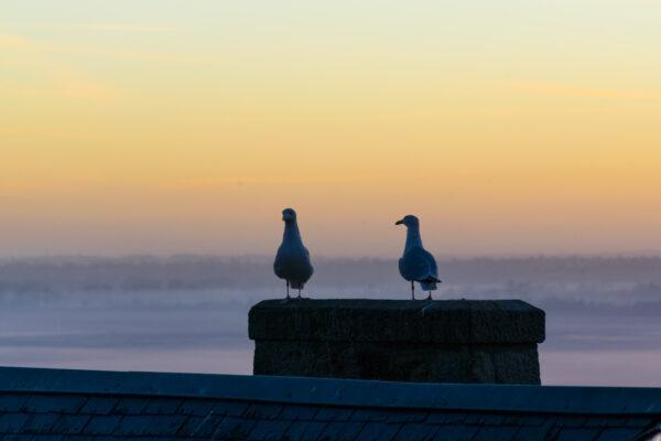 Goélands sur les toits du Mont Saint-Michel