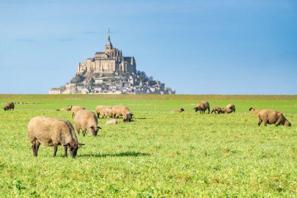 Moutons dans les prés-salés du Mont Saint-Michel