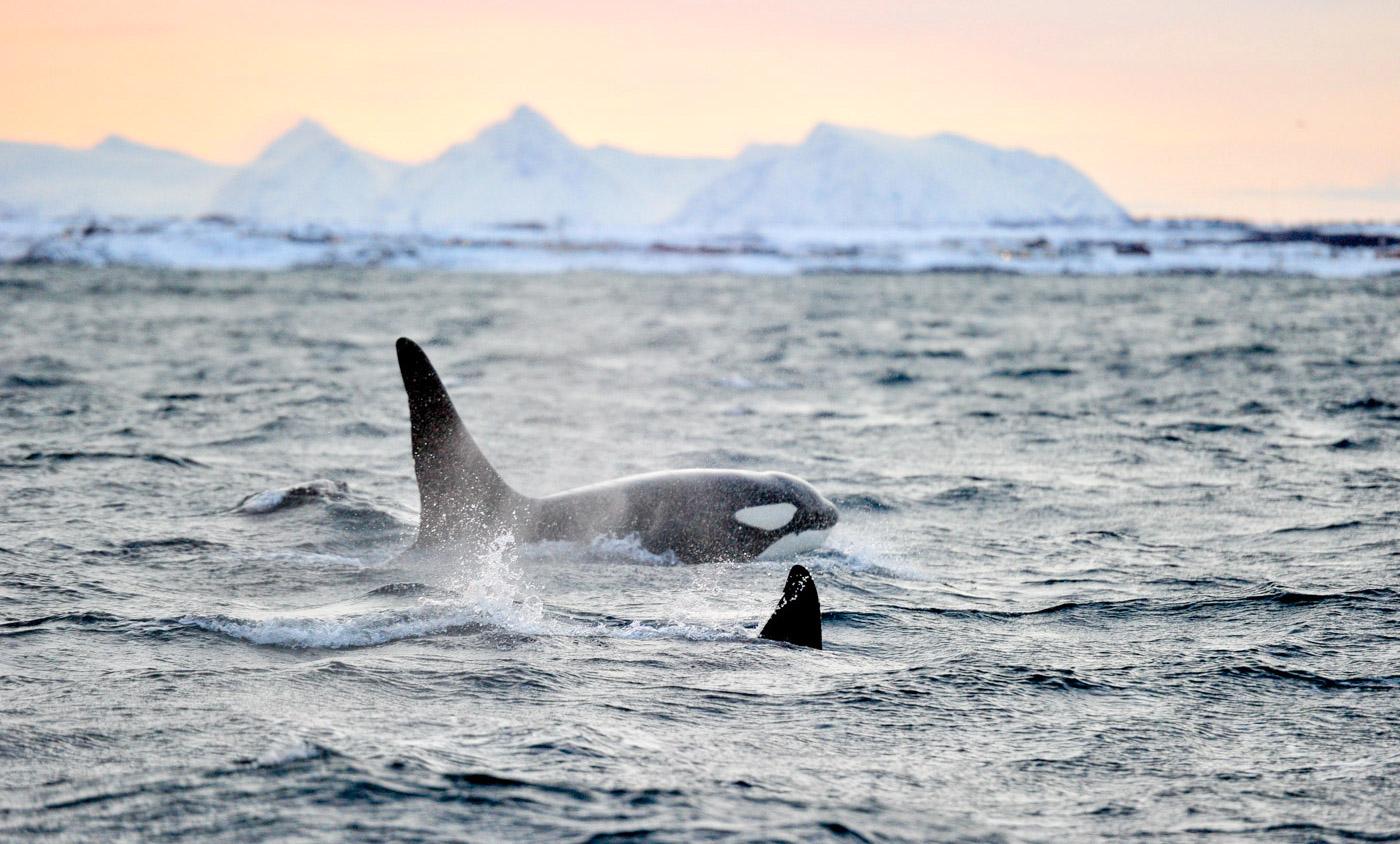 Orques et baleines à Tromso en Norvège