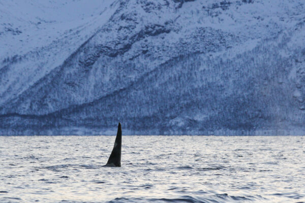 Safari baleine à Skjervøy en Norvège