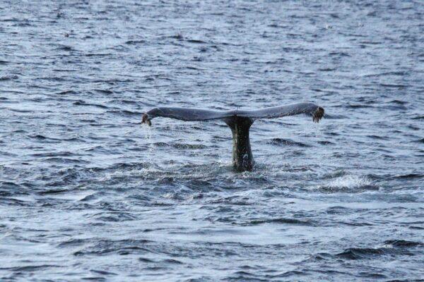 Voir des baleines à Tromso