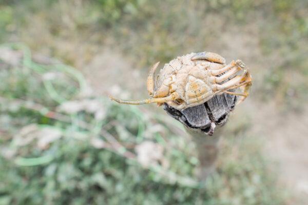 Crabe dans les pré salé de la baie de Somme
