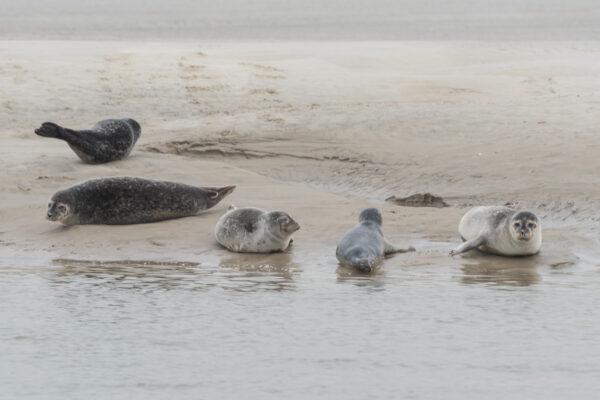 Où voir les phoques de la baie de Somme