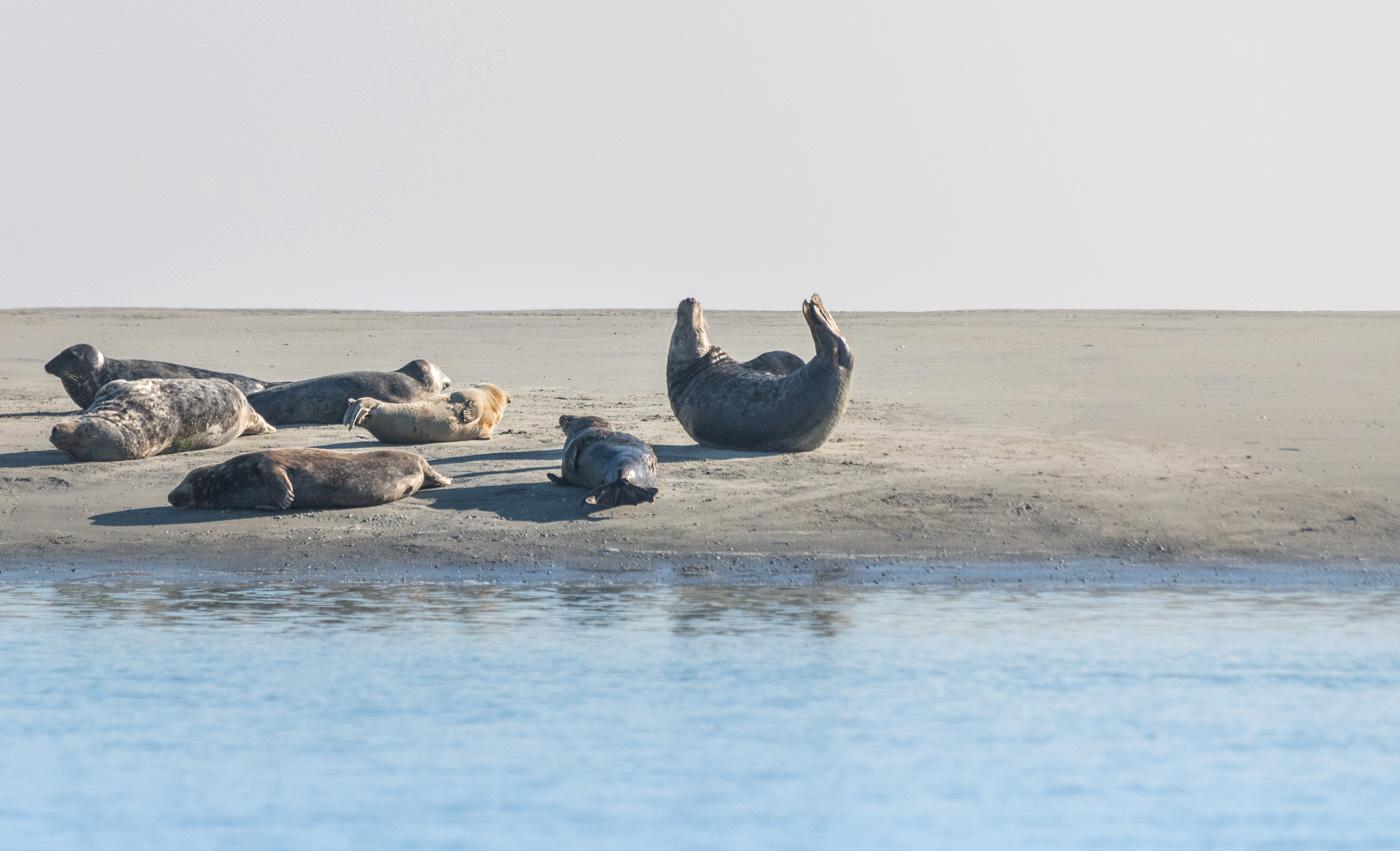 Phoque en baie de Somme