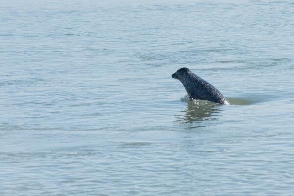 Phoque qui nage en baie de Somme