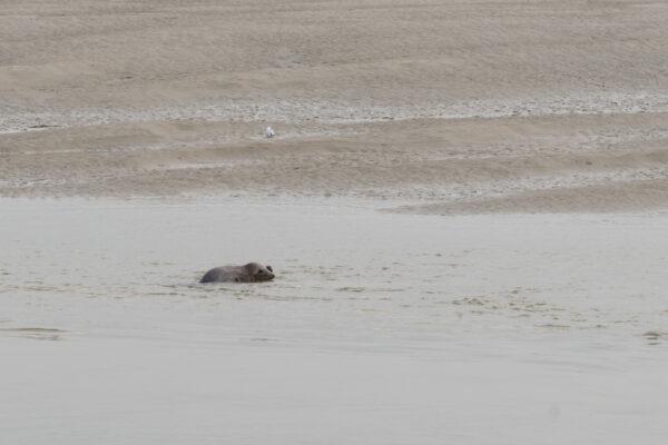 Randonnée phoque en baie de Somme