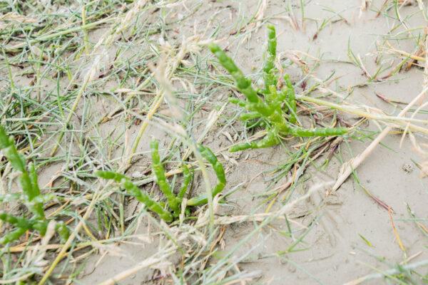 Salicorne en baie de Somme