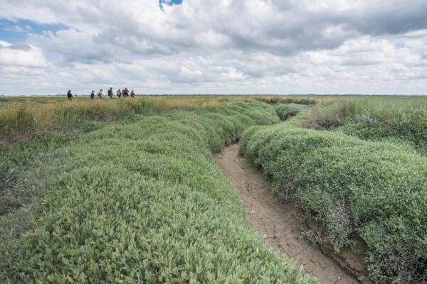Traversée des prés salés de la baie de Somme
