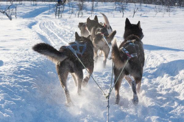 Excursion chien de traineau