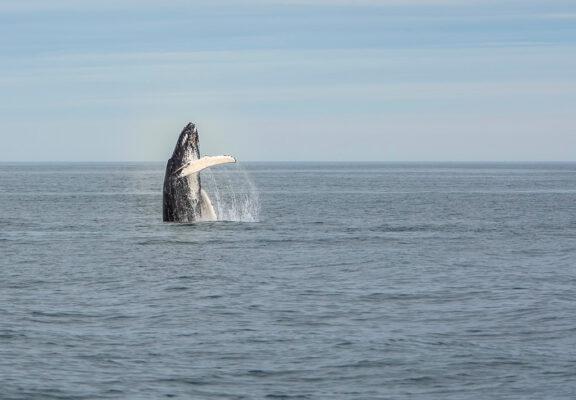 Sortie baleine à Reykjavik en Islande