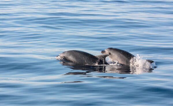Excursion en mer depuis Alcudia pour voir des dauphins