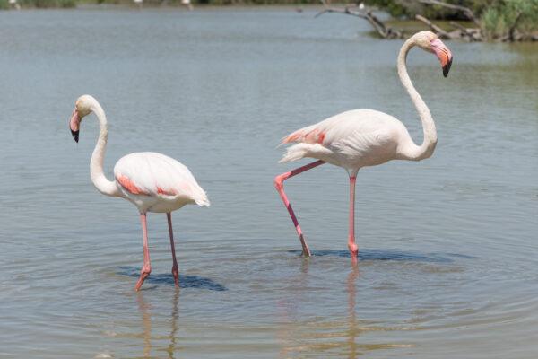 Flamants roses dans le parc ornithologique du Pont de Gau